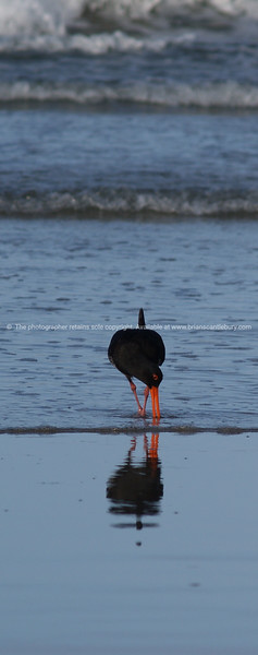 Black Oystercatcher at the waterline.