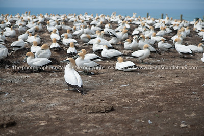Gannets, a flock at rest, Cape Kidnappers.