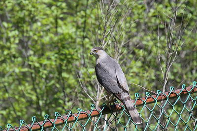 A male Cooper's Hawk sitting on a chain link fence