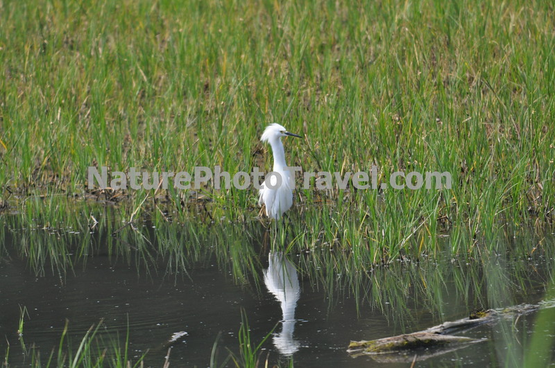 Snowy Egret. A small, active white heron, the Snowy Egret is found in small ponds as well as along the ocean shore. Its black legs and yellow feet quickly identify it.