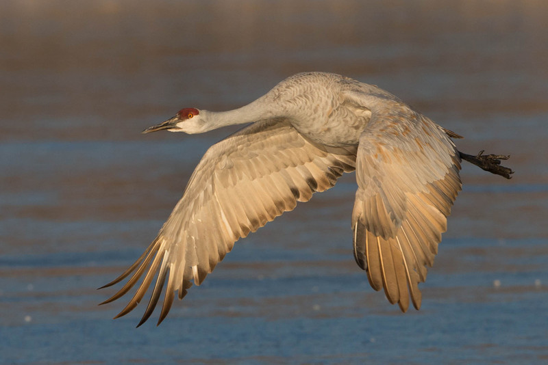 Sandhill Crane-take off