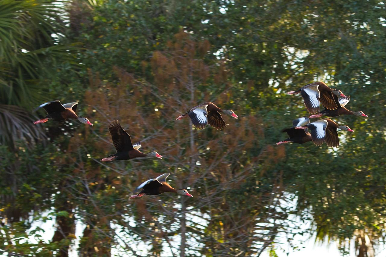 whistling duck flock