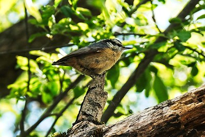 Red-breasted Nuthatch, male - Sitta canadensis.