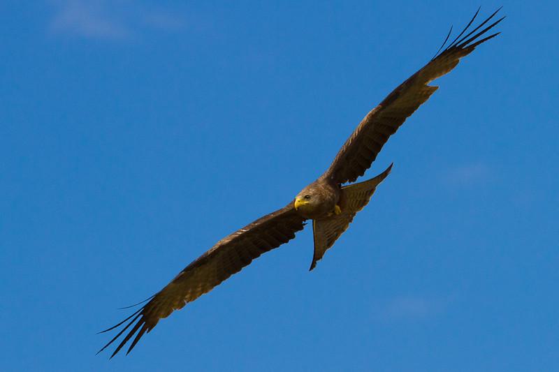 African Kite