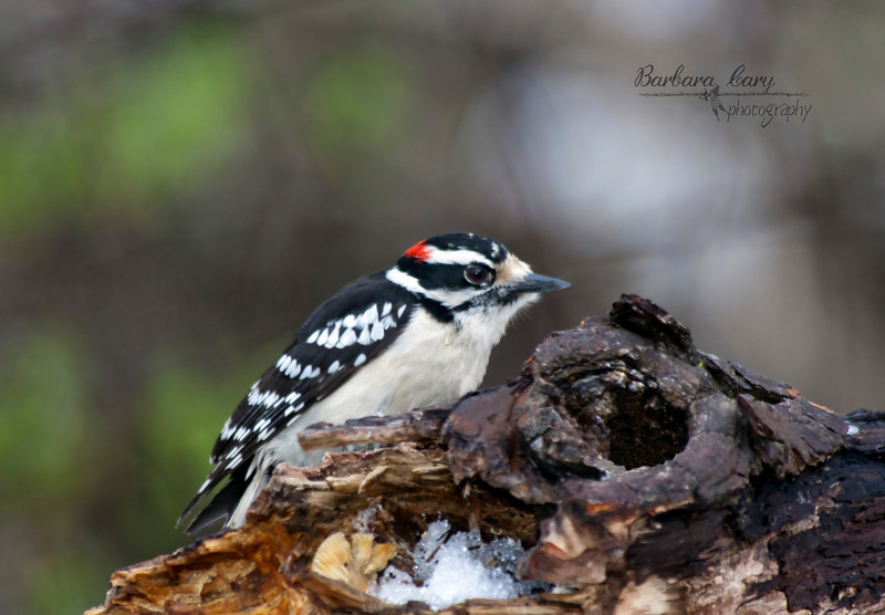 downy woodpecker_IMG_1542