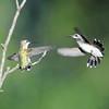 Ruby-throated Hummingbirds, Female