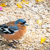 Chaffinch on ground