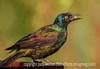 Grackle with Painterly Effects