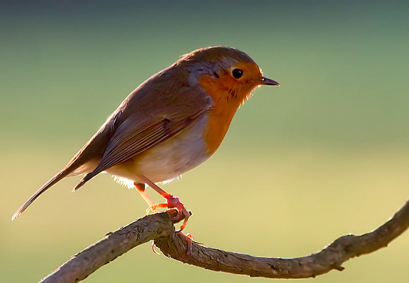 New Forest Robin