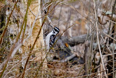 Hairy Woodpecker - Dryobates villosus, female.
