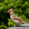 Northern Cardinal, Elizabeth Morton Wildlife Refuge.