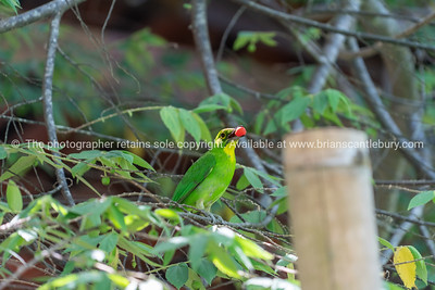 Lesser green leafbird in tree with berry