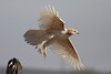Leucistic Red-tailed Hawk (Buteo jamaicensis)