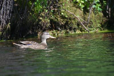 Mallard at Nashua River (MA) on 20100702