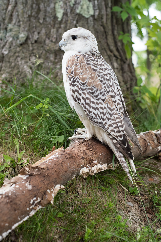 Saker Hawk