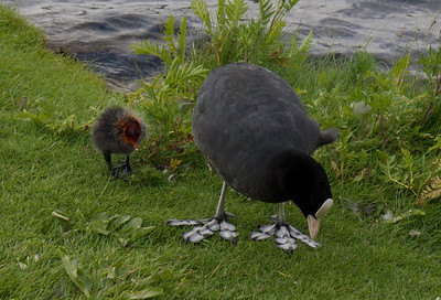 Common Coot. Photo: Martin Bager.