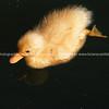 Young duck portrait.