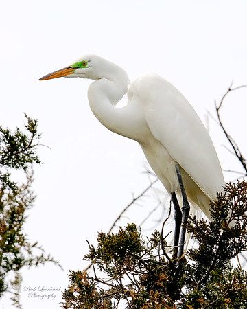 Great Egret at The Oceanside Nature Marine Study Area.