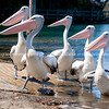 Pelicans at boat ramp.