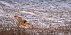 SE Owl landing in snow NL  8500-