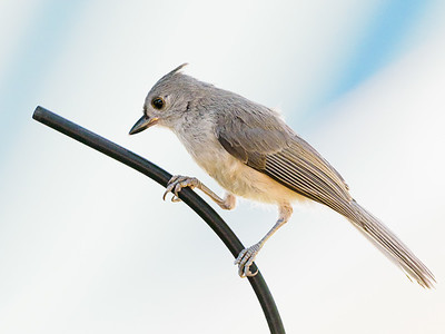 tufted titmouse on a wire 7110151-