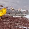 Yellow warbler, Galapagos Islands