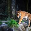 Tiger, Canon EOS 5D + Canon 400mm f5.6L lens. Thailand