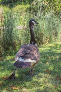 Stretching goose