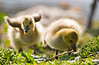 Two fat little goslings stumbling over rough ground of grass and twigs as they search for food. The rudimentary wing stubs on the one baby Canadian goose (branta canadensis occidentalis) are visible through the downy fuzz.
