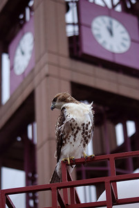 A red-tailed hawk scans the ground for prey in front of a clock
