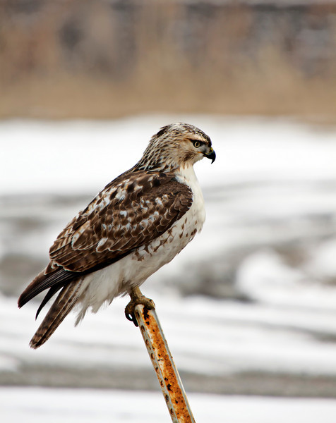 Hawk 065-3copy