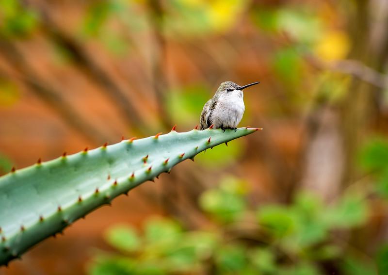 Hummingbird posing at Arizona-Sonora Desert Museum, Tucson - December 2017
