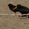 Black oystercatcher with their striking orange beaks.