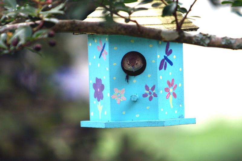 House Wren exits his new nest