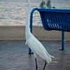 Egret on Patrol