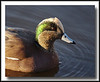 American Widgeon at Nicomekl River, Surrey, BC