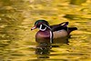 On Golden Pond - Wood Duck