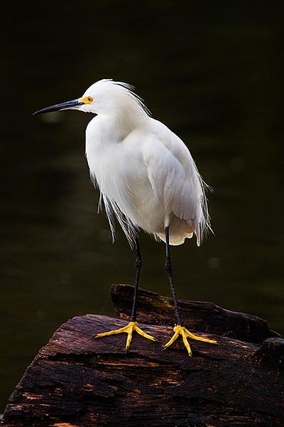 Snowy Egret (<i>Egretta thula</i>) Mamirauá Reserve, Amazon, Brazil