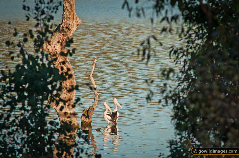Pelicans on the Murray River, Murray Valley area