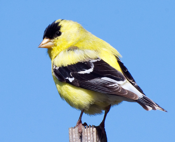 Finch looking back: American goldfinch, male. They have a very beautiful mating song, but when announcing food simply say Ha-wheee! incessantly.