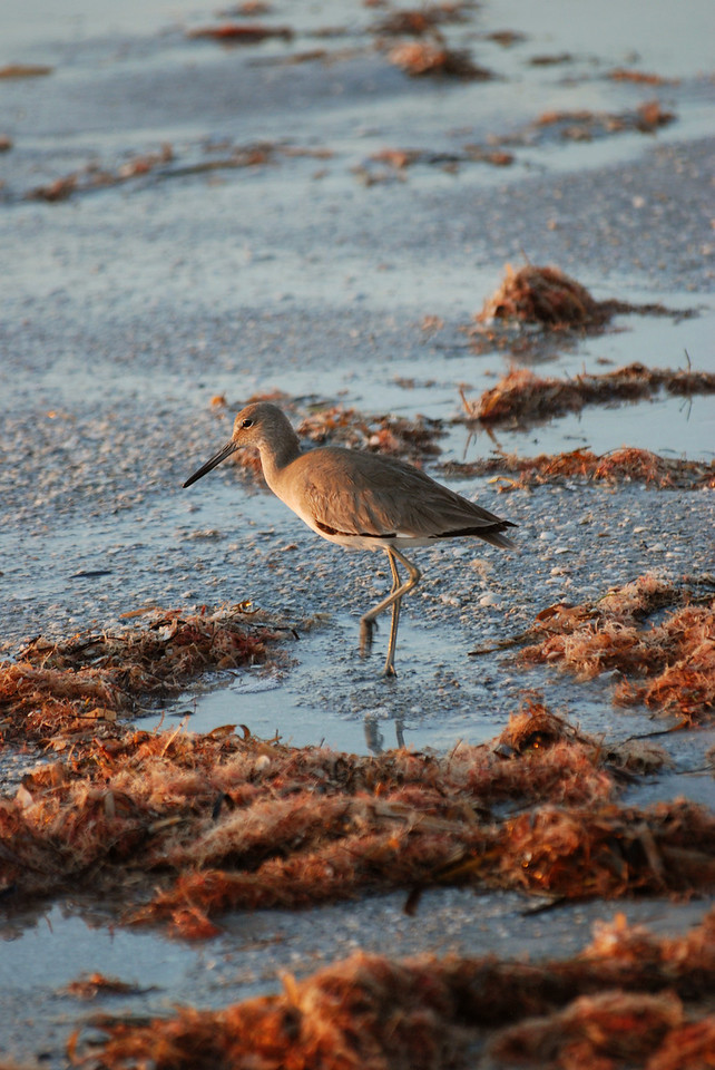 Willet on beach.  Reddington Shores, FL