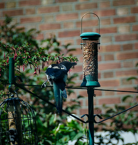Magpie on nut feeder.