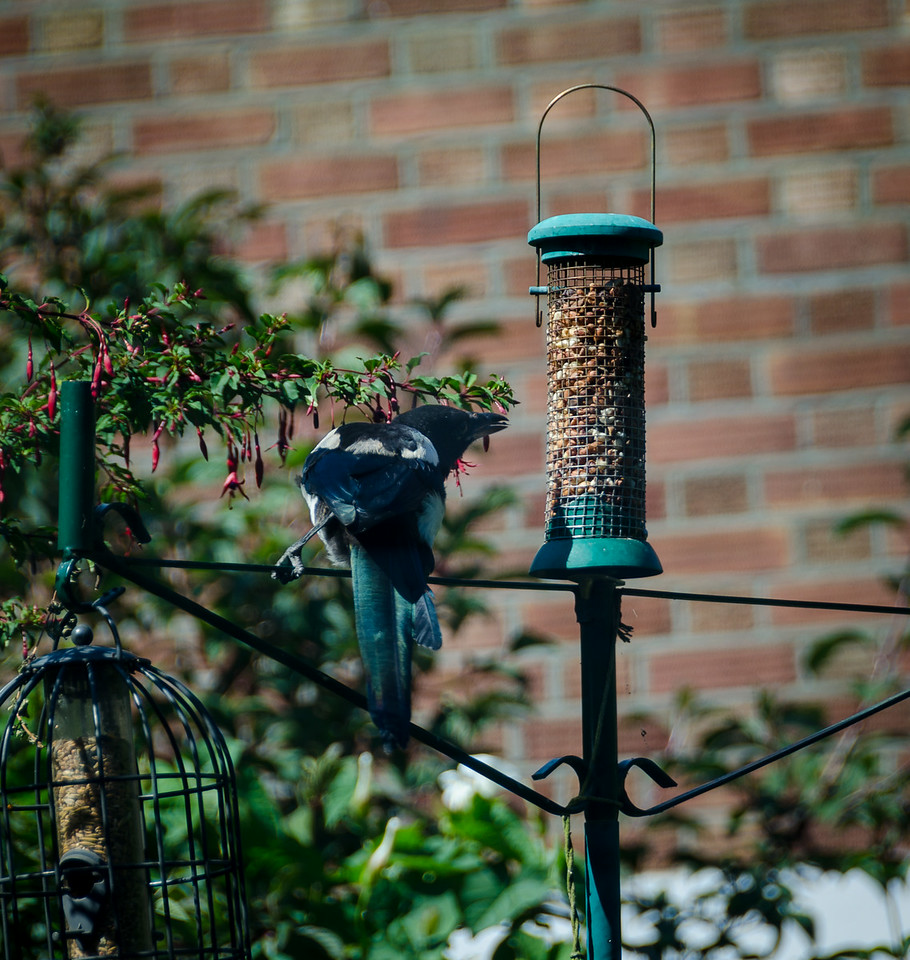 Magpie on nut feeder.