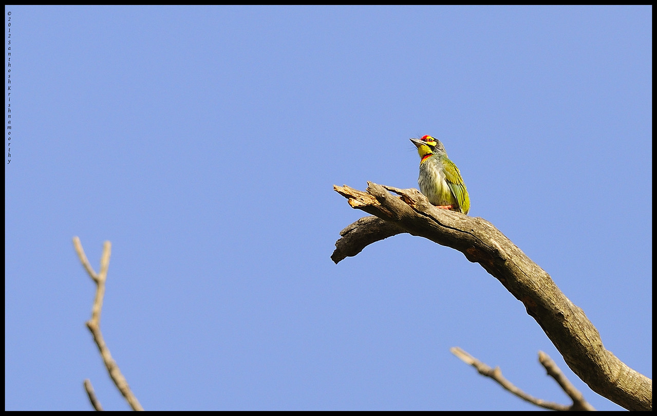 Coppersmith Scape... | Coppersmith Barbet......,