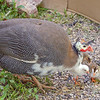 Guineafowl with chicks.<br /> Glenwood, NM