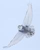 Snowy Owl<br /> Edmonton, Alberta<br /> Christmas Day