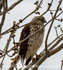 Hawk in the Tree Next to Our Deck