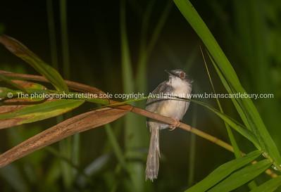 Small bird in night image, plain Prinia