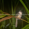 Small bird in night image, plain Prinia