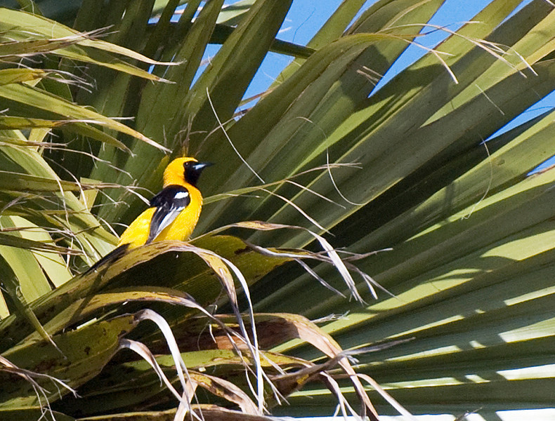 Hooded Oriole in Half Moon Bay: We have two pairs of these and they are new visitors to our bird habitat. They typically nest in fan palms as pictured here. These palms are in our neighbor's yard across the street.